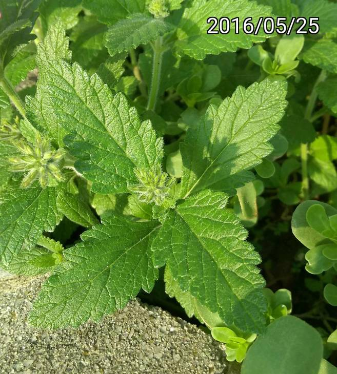 美女櫻的葉、 leaves of Verbena hybrida,  Garden Verbena